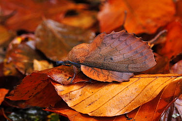 Moth (Gastropacha quercifolia) mimicking a dead leaf, Switzerland  -  Thomas Marent