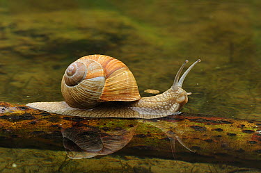 Edible Snail (Helix pomatia), Switzerland  -  Thomas Marent