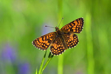 Heath Fritillary (Melitaea athalia) butterfly, Switzerland  -  Thomas Marent