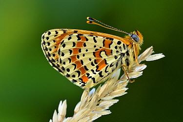 Spotted Fritillary (Melitaea didyma) butterfly, Switzerland  -  Thomas Marent