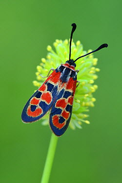 Auspicious Burnet (Zygaena fausta) moth, Switzerland  -  Thomas Marent