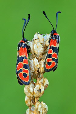 Auspicious Burnet (Zygaena fausta) moth pair, Switzerland  -  Thomas Marent