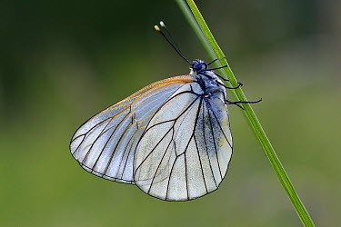 Black-veined White (Aporia crataegi) butterfly, Switzerland  -  Thomas Marent