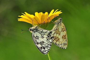 Marbled White (Melanargia galathea) butterfly pair mating, Switzerland  -  Thomas Marent