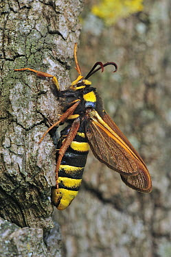 Hornet Moth (Sesia apiformis) recently hatched, Switzerland  -  Thomas Marent