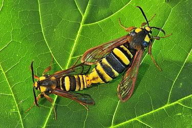 Hornet Moth (Sesia apiformis) pair mating, Switzerland  -  Thomas Marent