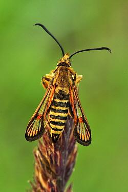 Six-belted Clearwing (Bembecia ichneumoniformis) male, Switzerland  -  Thomas Marent