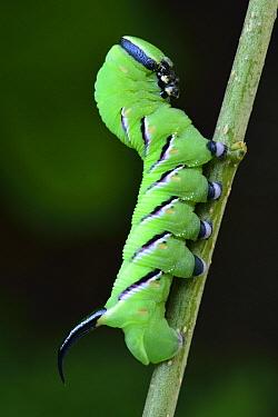 Privet Hawk Moth (Sphinx ligustri) caterpillar, Switzerland  -  Thomas Marent