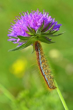 Ground Lackey Moth (Malacosoma castrense) caterpillar, Switzerland  -  Thomas Marent