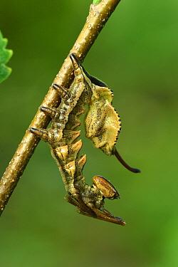 Lobster Moth (Stauropus fagi) caterpillar, Switzerland  -  Thomas Marent