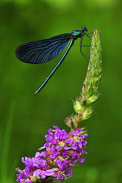 Beautiful Demoiselle (Calopteryx virgo) male, Switzerland  -  Thomas Marent