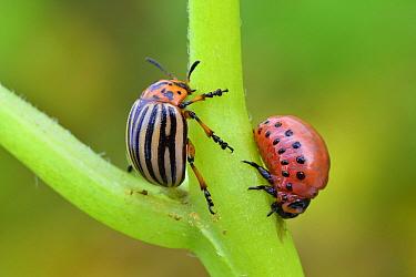 Colorado Potato Beetle (Leptinotarsa decemlineata) adult and larva, Switzerland  -  Thomas Marent