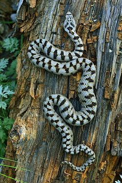 European Asp (Vipera aspis), Switzerland  -  Thomas Marent