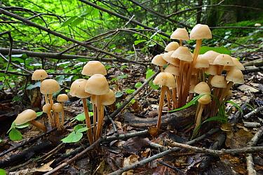 Clustered Toughshank Mushroom (Gymnopus confluens), Switzerland  -  Thomas Marent