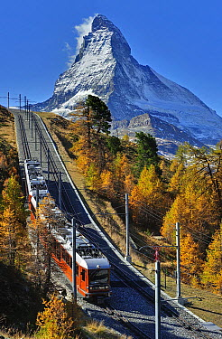Larch (Larix sp) forest around train at the foot of the Matterhorn, Switzerland  -  Thomas Marent