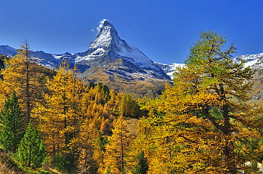Larch (Larix sp) forest below the Matterhorn, Switzerland  -  Thomas Marent