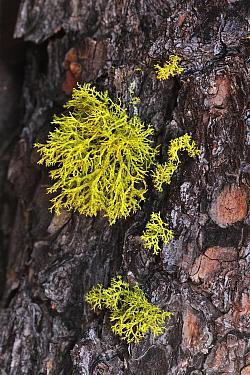 Wolf Lichen (Letharia vulpina) on a pine tree, Switzerland  -  Thomas Marent