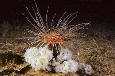 Tube-dwelling Anemone (Pachycerianthus fimbriatus) surrounded by egg masses, Vancouver Island, British Columbia, Canada  -  Fred Bavendam
