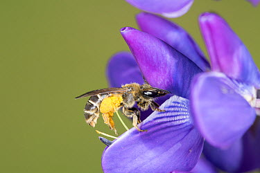 Mining Bee (Andrena sp) on a Lupine (Lupinus sp) flower covered in pollen, Nova Scotia, Canada  -  Scott Leslie