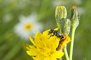 Small Carpenter Bee (Ceratina sp) pollinating a Hawkweed (Hieracium sp) bloom and extruding a water droplet containing pollen, Nova Scotia, Canada  -  Scott Leslie