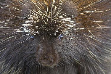 Common Porcupine (Erethizon dorsatum), Nova Scotia, Canada  -  Scott Leslie