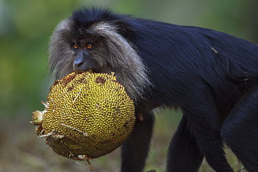 Lion-tailed Macaque (Macaca silenus) female carrying fruit, Indira Gandhi National Park, Western Ghats, India  -  Anup Shah