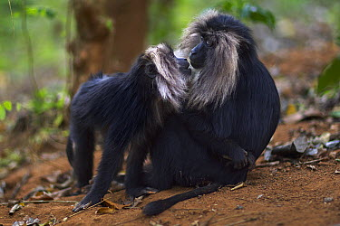 Lion-tailed Macaque (Macaca silenus) female and baby greeting, Indira Gandhi National Park, Western Ghats, India  -  Anup Shah