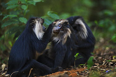 Lion-tailed Macaque (Macaca silenus) trio grooming, Indira Gandhi National Park, Western Ghats, India  -  Anup Shah
