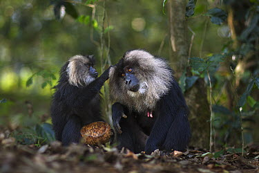 Lion-tailed Macaque (Macaca silenus) pair grooming, Indira Gandhi National Park, Western Ghats, India  -  Anup Shah