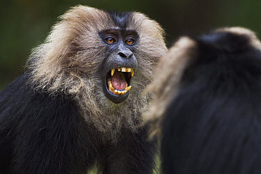 Lion-tailed Macaque (Macaca silenus) pair play-fighting, Indira Gandhi National Park, Western Ghats, India  -  Anup Shah