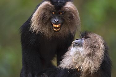 Lion-tailed Macaque (Macaca silenus) pair mating, Indira Gandhi National Park, Western Ghats, India  -  Anup Shah