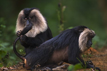 Lion-tailed Macaque (Macaca silenus) females grooming, Indira Gandhi National Park, Western Ghats, India  -  Anup Shah