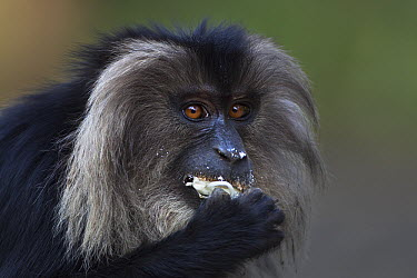 Lion-tailed Macaque (Macaca silenus) sub-adult male feeding on Jackfruit, Indira Gandhi National Park, Western Ghats, India  -  Anup Shah