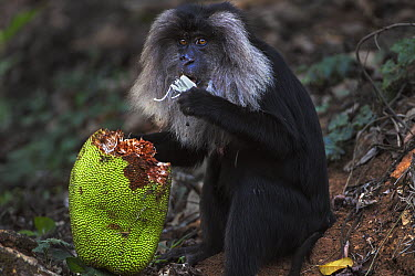 Lion-tailed Macaque (Macaca silenus) female feeding on Jackfruit, Indira Gandhi National Park, Western Ghats, India  -  Anup Shah