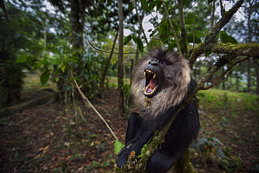 Lion-tailed Macaque (Macaca silenus) sub-adult male in defensive display in tree, Indira Gandhi National Park, Western Ghats, India  -  Anup Shah