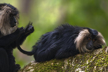 Lion-tailed Macaque (Macaca silenus) females grooming in tree, Indira Gandhi National Park, Western Ghats, India  -  Anup Shah
