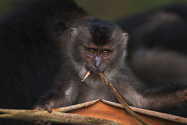 Lion-tailed Macaque (Macaca silenus) baby playing with dried leaf, Indira Gandhi National Park, Western Ghats, India  -  Anup Shah