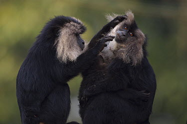 Lion-tailed Macaque (Macaca silenus) adult grooming mother with baby, Indira Gandhi National Park, Western Ghats, India  -  Anup Shah