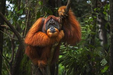 Sumatran Orangutan (Pongo abelii) twenty-six year old male, named Halik, in tree, Gunung Leuser National Park, Sumatra, Indonesia  -  Anup Shah