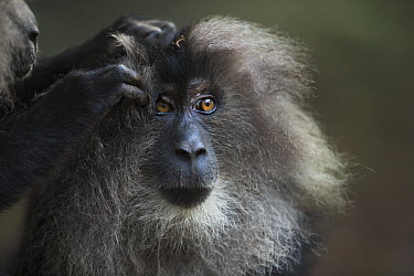 Lion-tailed Macaque (Macaca silenus) female being groomed, Indira Gandhi National Park, Western Ghats, India  -  Fiona Rogers