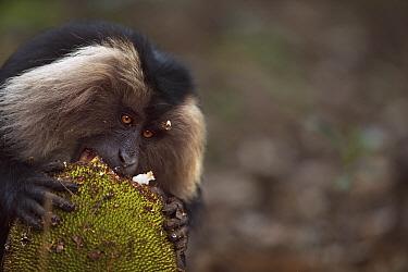 Lion-tailed Macaque (Macaca silenus) male feeding on Jackfruit, Indira Gandhi National Park, Western Ghats, India  -  Fiona Rogers