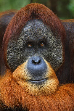 Sumatran Orangutan (Pongo abelii) twenty-six year old male, named Halik, Gunung Leuser National Park, Sumatra, Indonesia  -  Fiona Rogers