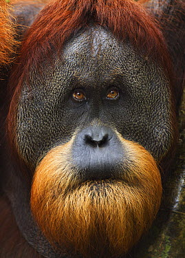 Sumatran Orangutan (Pongo abelii) twenty-six year old male, named Halik, biting lip, Gunung Leuser National Park, Sumatra, Indonesia  -  Fiona Rogers