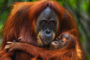 Sumatran Orangutan (Pongo abelii) twenty-four year old female, named Ratna, playing with her female baby, named Global, Gunung Leuser National Park, Sumatra, Indonesia  -  Fiona Rogers