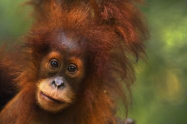 Sumatran Orangutan (Pongo abelii) female baby, named Sandri, Gunung Leuser National Park, Sumatra, Indonesia  -  Fiona Rogers