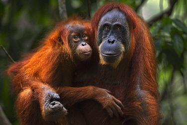 Sumatran Orangutan (Pongo abelii) twenty-four year old female, named Ratna, with female baby, named Global, Gunung Leuser National Park, Sumatra, Indonesia  -  Fiona Rogers