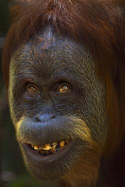 Sumatran Orangutan (Pongo abelii) thirty-six year old female, named Suma, displaying fear, Gunung Leuser National Park, Sumatra, Indonesia  -  Fiona Rogers