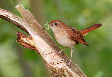 Nightingale (Luscinia megarhynchos), Mecklenburg Vorpommern, Germany  -  Chris Romeiks/ BIA