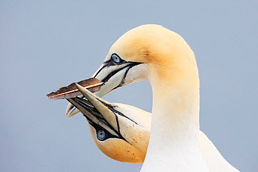 Northern Gannet (Morus bassanus) pair in courting display, Bass Rock, Scotland, United Kingdom  -  Jiri Slama/ BIA