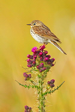 Meadow Pipit (Anthus pratensis), Runde, Norway  -  Jiri Slama/ BIA